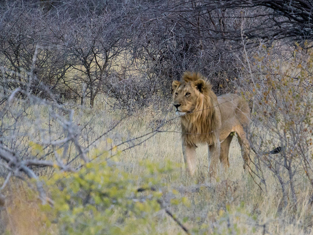 A male lion prowls around Onguma Game Reserve