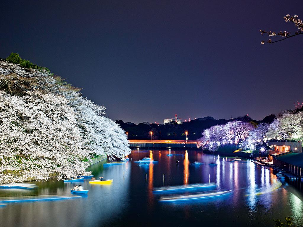 Cherry blossom at Chidorigafuchi Park