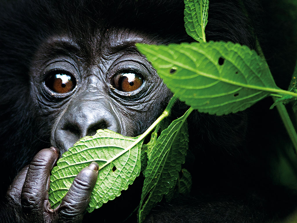 Mountain gorillas in Rwanda are attracting swarms of tourists, and subsequently boosting its economy